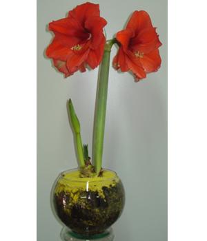 Cód: 5345 Vaso de Amarilis