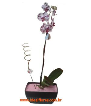 Cód: 5691        Orquídea Luxo!